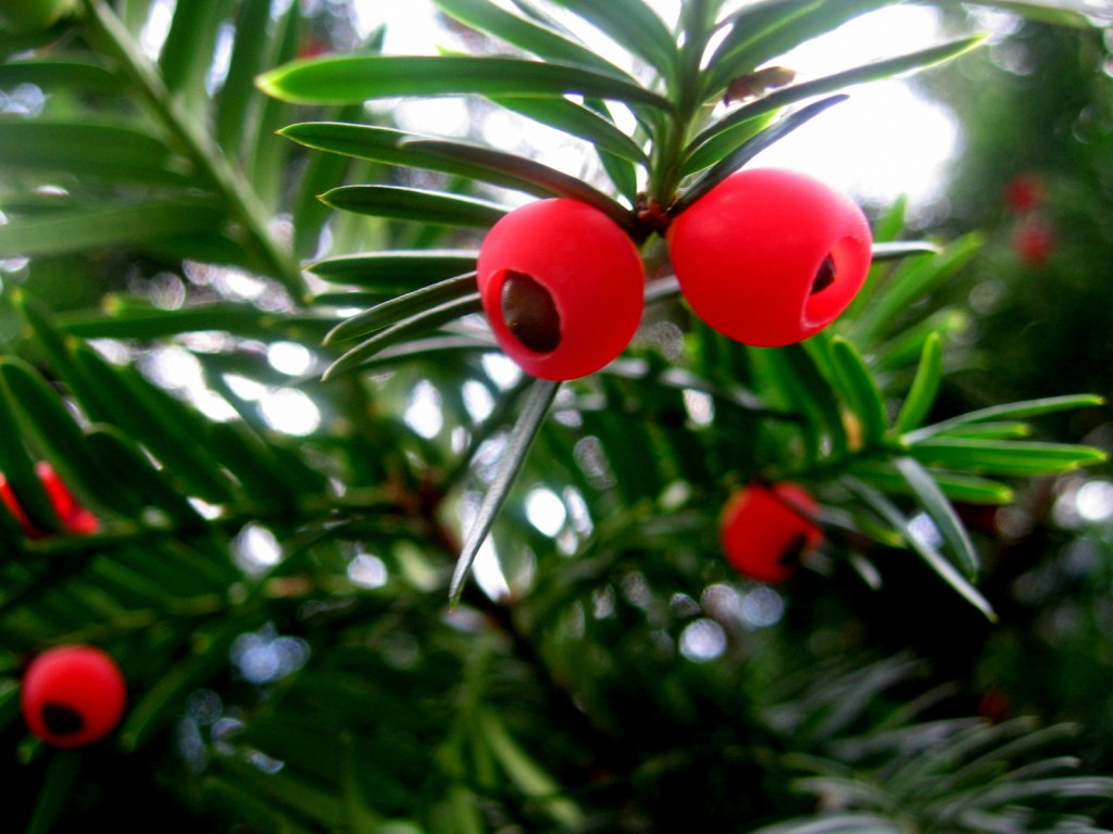 yew berries and seeds
