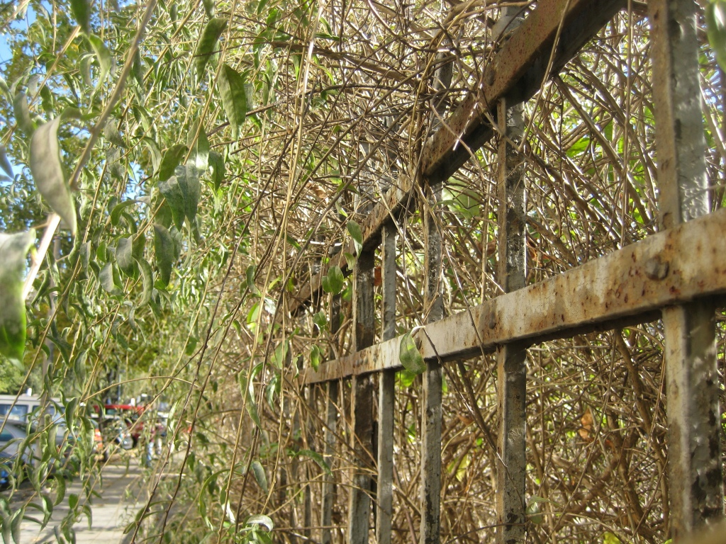 Lycium barbarum shrub growing over fence